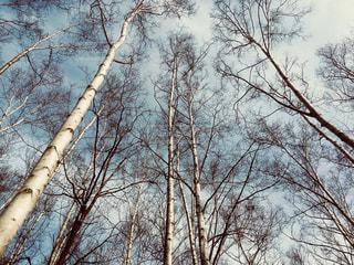 白樺林 北海道小樽市小樽公園の写真・画像素材[1141213]