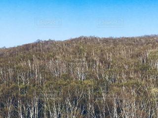 北海道小樽市朝里の白樺林の写真・画像素材[1152554]
