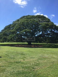 バック グラウンドでモアナルア ・ ガーデンの芝生のフィールドでツリーの写真・画像素材[1129788]