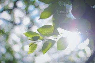 朝日に照らされる葉っぱの写真・画像素材[1129792]