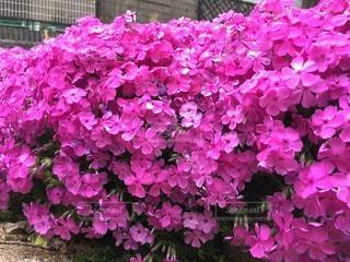 花の写真・画像素材[39580]