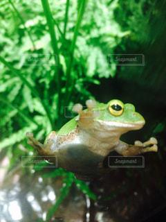 緑のカエルの写真・画像素材[1130929]