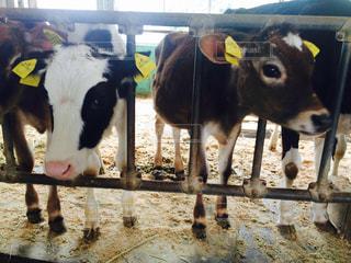 ペンで牛の立っています。の写真・画像素材[1130931]