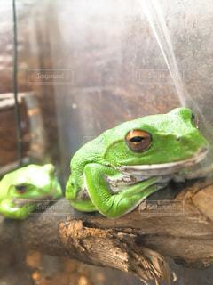 緑のカエルの写真・画像素材[1132769]