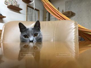 テーブルに映る猫の顔の写真・画像素材[1550663]