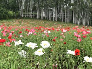 ポピー咲く白樺林の写真・画像素材[1622076]