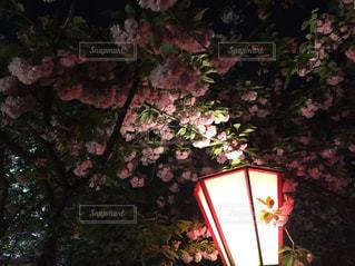夜桜の写真・画像素材[1131532]