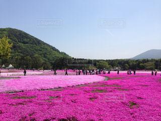 満開の芝桜 - No.1132262