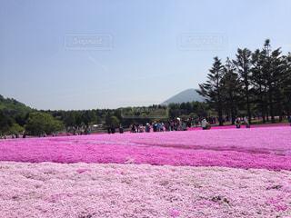 ピンクのじゅうたんの写真・画像素材[1132263]