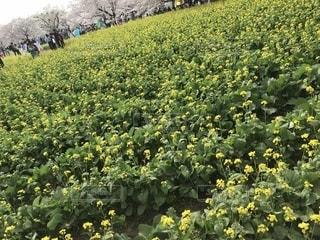 フィールド内の黄色の花の写真・画像素材[1132303]