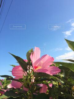 晴れた日のピンクの花の写真・画像素材[1133360]