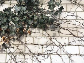 蔦の這う壁の写真・画像素材[1133822]