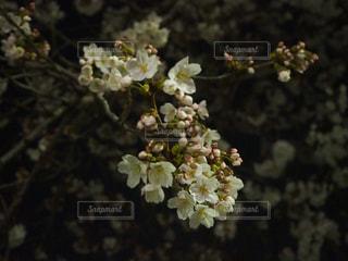夜桜の写真・画像素材[1141702]