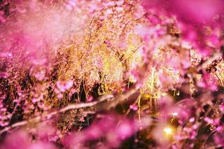 夜桜の写真・画像素材[1133739]