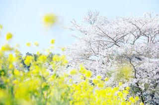 黄色の花の写真・画像素材[1133764]