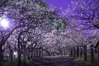 森の大きな木の写真・画像素材[1133781]