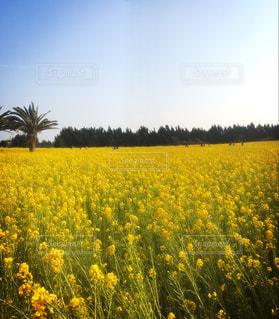 一面の菜の花畑の写真・画像素材[1139375]