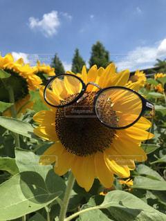 メガネひまわりの写真・画像素材[1133799]