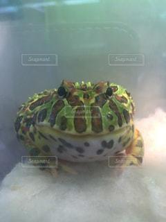 テーブルに座っているカエルの写真・画像素材[1134182]