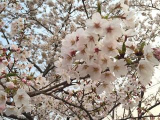 桜満開の写真・画像素材[1134308]