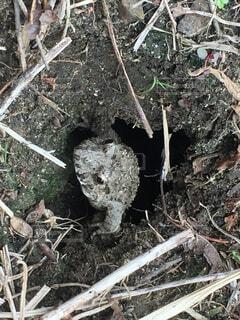 お庭の下から起きてきたカエルの写真・画像素材[4570368]