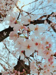 通り雨のあと、ほんのり濡れた桜の花。の写真・画像素材[1880884]