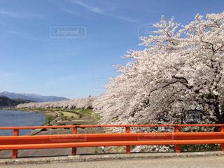 角館の桧木内川の桜の写真・画像素材[1134695]
