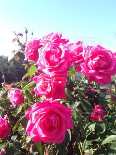 ピンクの薔薇の写真・画像素材[1134772]