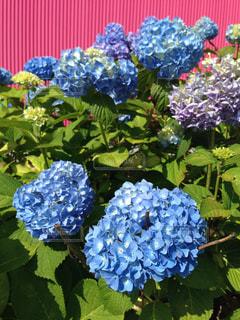 紫陽花の写真・画像素材[1144250]