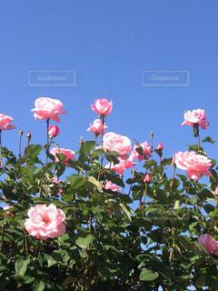 ピンクの薔薇の写真・画像素材[1144251]