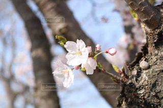桜の写真・画像素材[1135241]
