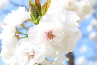 桜の写真・画像素材[1135242]