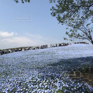 ネモフィラの丘の写真・画像素材[1156827]