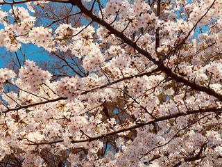 桜風景の写真・画像素材[1135097]