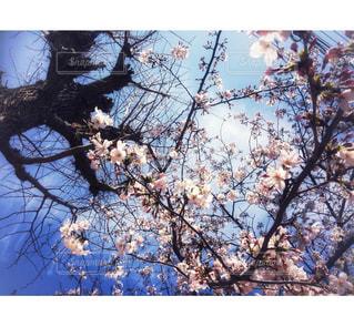 桜の木の下で - No.1145575