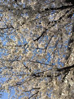 桜の下で - No.1135715