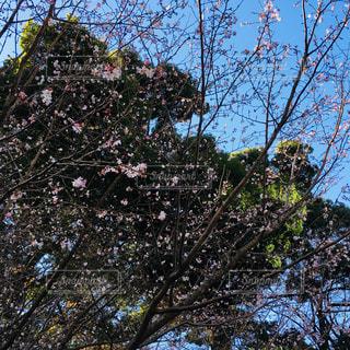 鮮やかな空をバックに桜 - No.1136527
