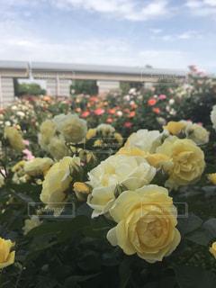近くの花のアップの写真・画像素材[1266907]