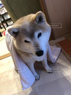 テーブルの上に座っている犬の写真・画像素材[1142471]