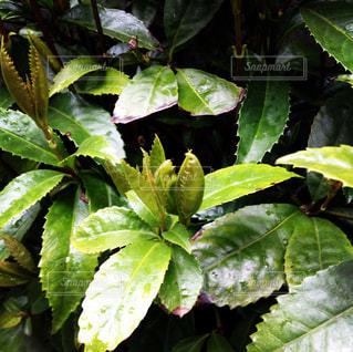 緑の植物の写真・画像素材[1144449]