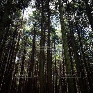 フォレスト内のツリーの写真・画像素材[1168533]