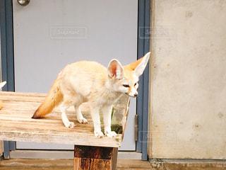 市川市動植物園で撮影したフェネックの写真・画像素材[1136323]