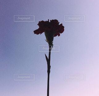 彼から貰った初めてのお花の写真・画像素材[1153349]