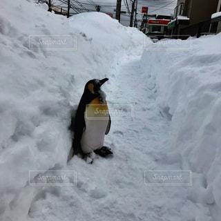 雪の中のペンギンの写真・画像素材[1137585]