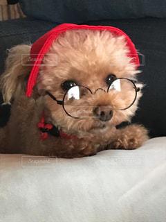 メガネが似合うトイプードルの写真・画像素材[1137755]