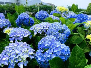 紫陽花の写真・画像素材[537130]