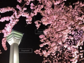 桜と五稜郭タワーの写真・画像素材[1174387]