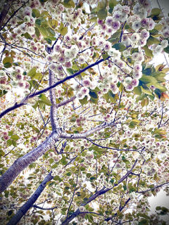 珍しい桜の写真・画像素材[4316330]