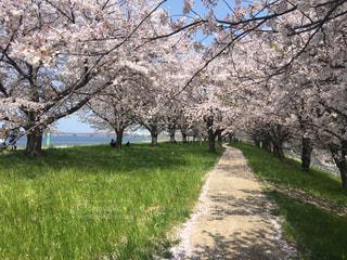 桜並木の小道の写真・画像素材[1137542]