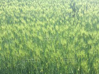 一面の麦畑の写真・画像素材[1164769]